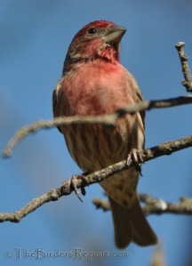 //www.thebirdersreport.com/birding-supplies/bird-feeders/house-finch-male-for-bird-photography-weekly