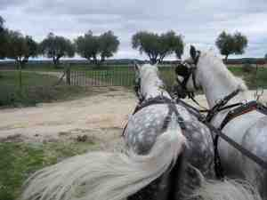 Lusitania horses near cork forest Ribatejo Portugal