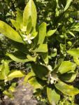 citrus blooms 2020